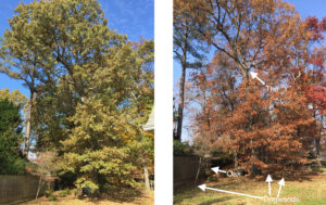 trimming-large-oak-tree