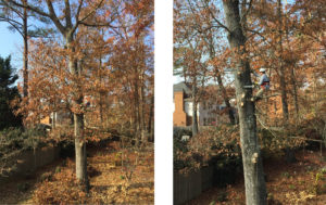 how to trim a large oak tree