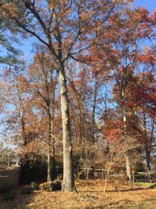 after-oak-tree-trimmed