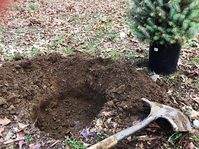 Italian-Stone-Pine-how-to-plant
