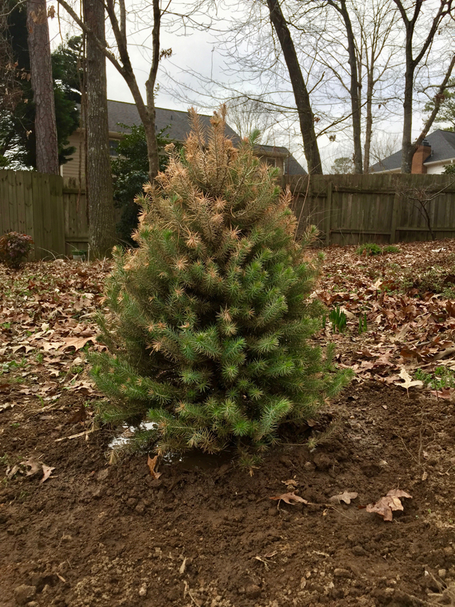 pine-tree-planted-Christmas