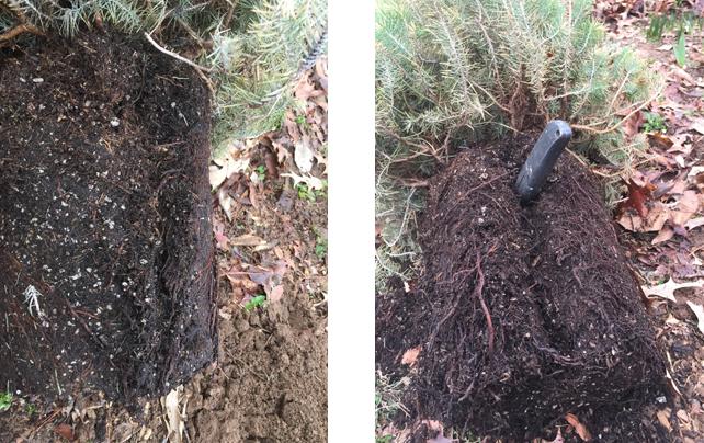 Italian-Stone-Pine-Tree-loosen-roots-to-plant