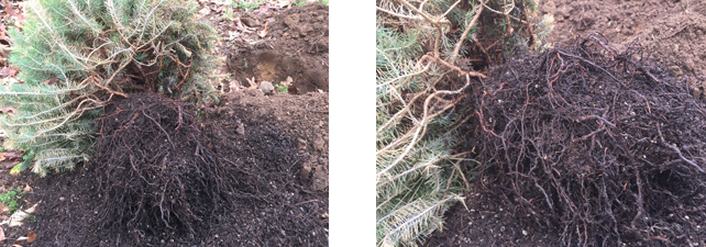 Italian-Stone-Pine-Tree-loosen-and-spread-roots