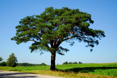 Italian-Stone-Pine-Tree