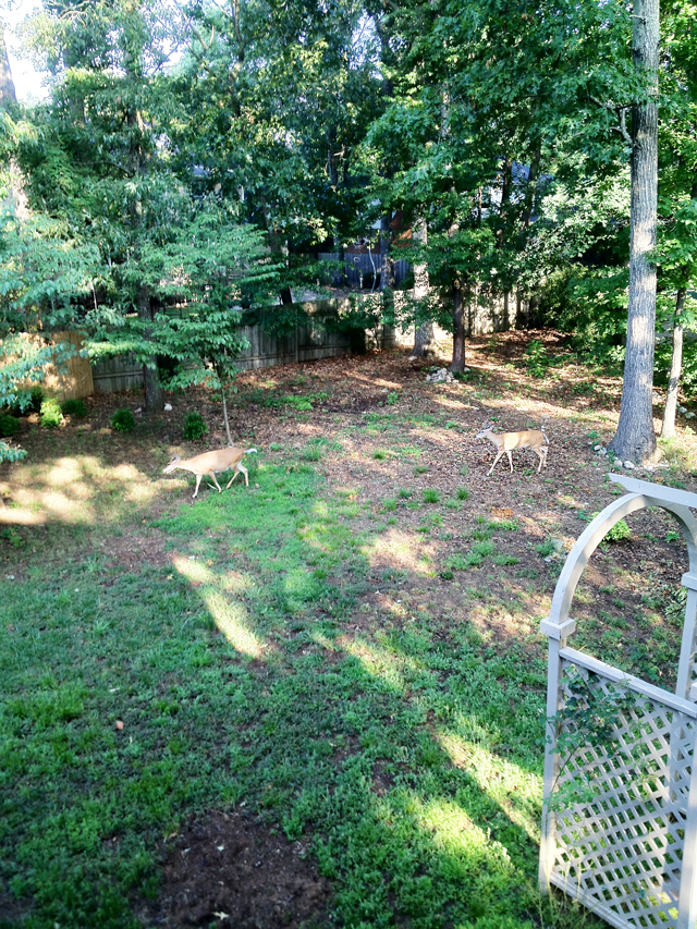 Two deer entering the the back yard of a home. A fence is in the background but not on the right side of the property