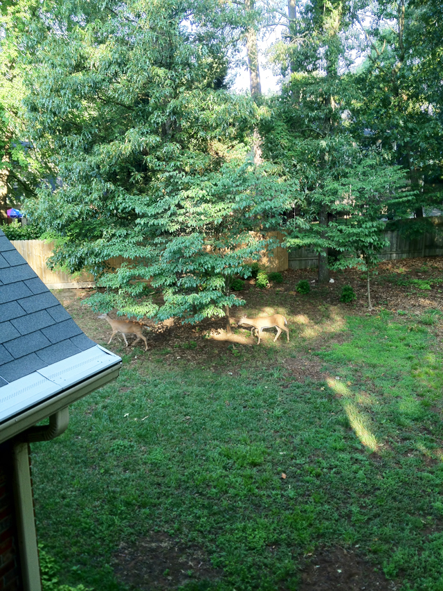 Two deer continue across the back yard of a home after entering on the unfenced right side of the property