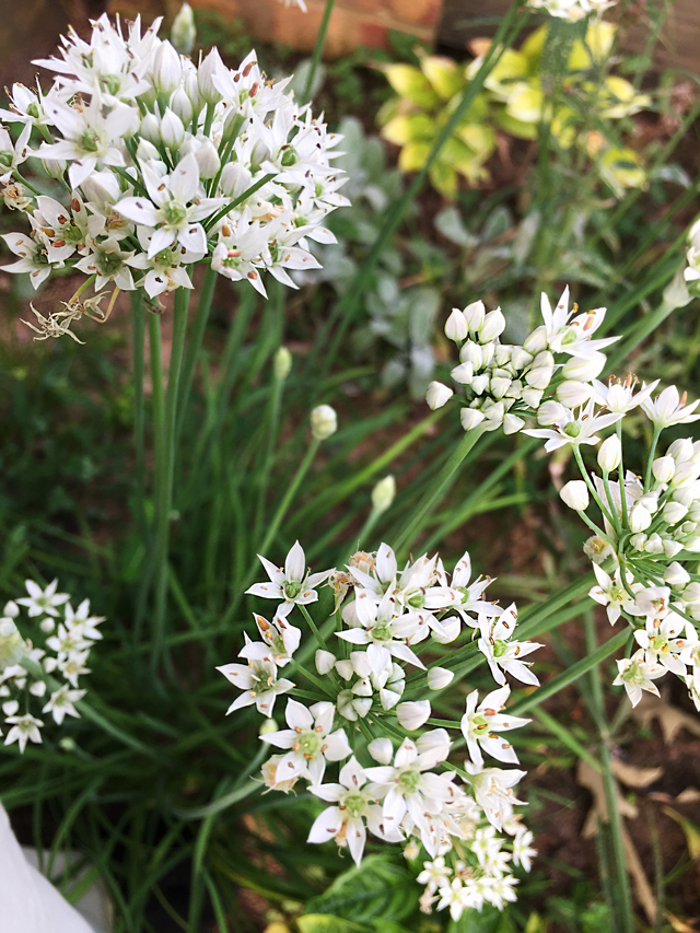 Closeup view of white, petaled chive flower showing small brown seeds