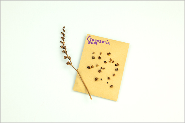 Crocosmia Lucifer seeds lay on gold seed envelope
