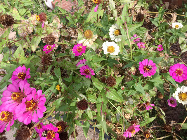A close-up photo of a bed of purple and while Zinnias. Some seed heads have dried.