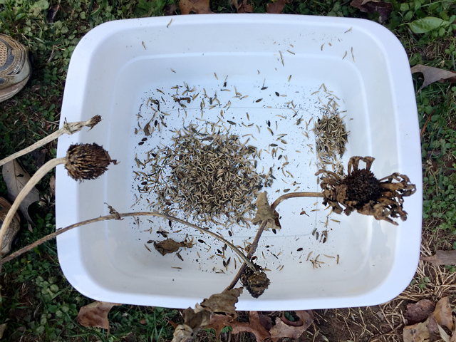Two dried Zinnia seed pods have been separated into a white plastic container. Small black seeds can be seen.