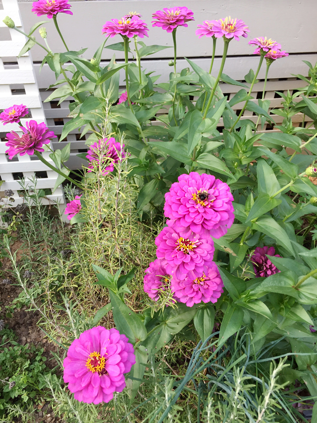 Zinnias in bloom before producing seed pods