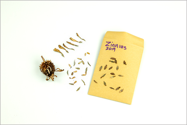 "Small gold paper envelope marked with the word  ""Zinnias"" lies on table before seeds are enclosed"