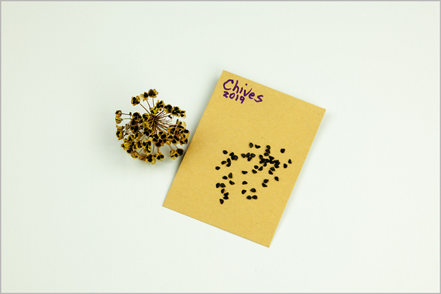 Chive seeds lay on small gold seed envelope