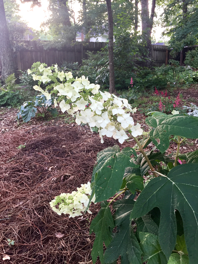View of corner of woodland garden with Hydrangea in foreground