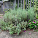 large lavender in front of fence