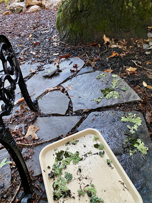 moss and lichen being placed on flagstone in woodland garden