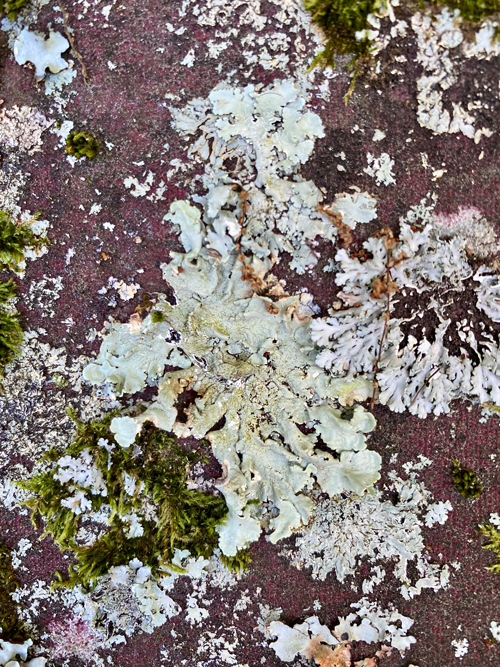 lichens of two separate and distinct designs