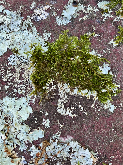 grey and green colors identify lichen and moss