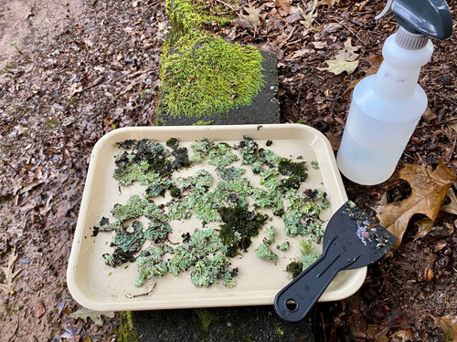 moss and lichen on tray for transporting to woodland garden