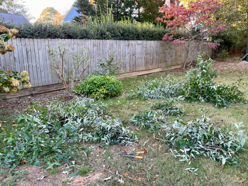 Many Butterfly Bush branches lay on ground after serious pruning