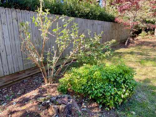 Trimmed Butterfly Bush stands with Nandinas and Viburnum