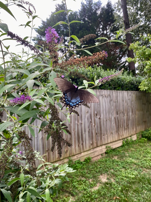 Black and blue butterfly on Butterfly Bush