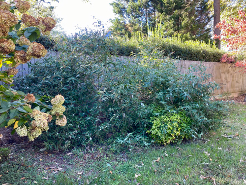 Large, overgrown, Butterfly Bush covers Nandina shrubs and a Viburnum plant