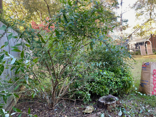 Part of overgrown Butterfly Bush has been trimmed off