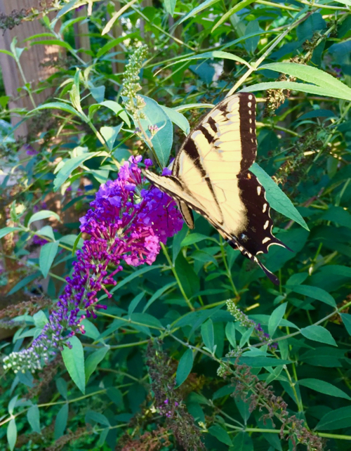 Yellow and black butterfly on Butterfly Bush flower