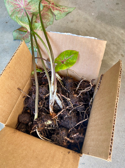 Caladium bulbs, with leaves and damp bulbs, just lifted from the soil