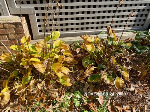 Hosta in late November with large areas of yellowing