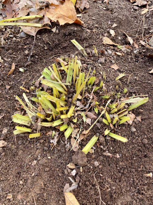 Yellowed leaves cut off and removed, now only 2 inch stems remain at ground level