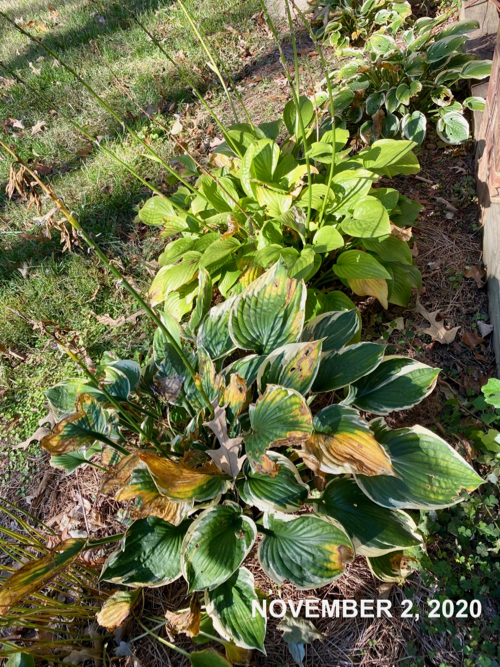 Hosta in November with a few yellowing leaves