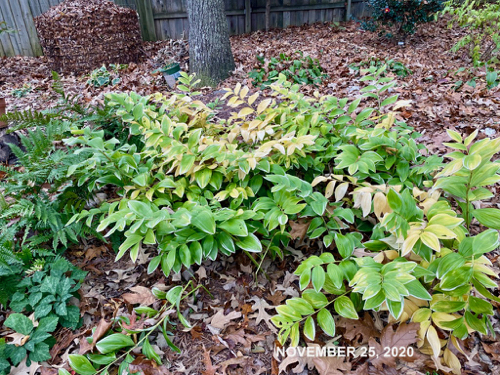 Some plants in Bed of Solomon's Seal  begin to turn yellow in fall