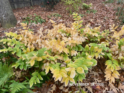 Solomons Seal showing more yellow as fall progresses