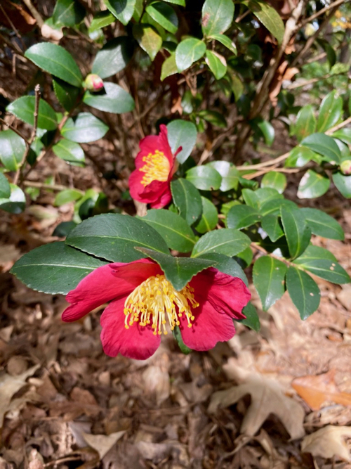 Closeup of Yuletide Camellia blooming in winter months