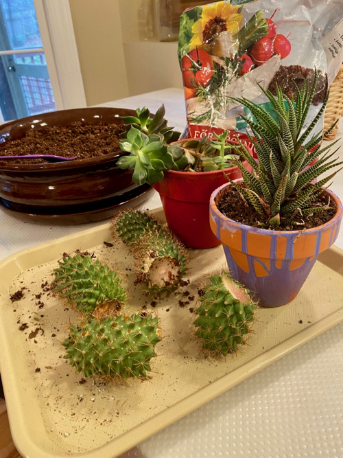 a tray holds final selection of cactus for planter