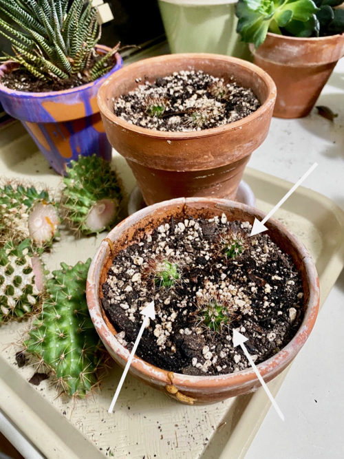 cactus pups are removed and planted in small pots