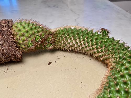 tall, bent cactus also has a long, tan sunburn patch
