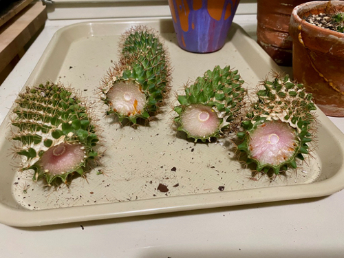 four cactus cuttings have dried weeks after cuts were made