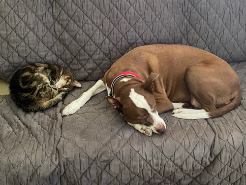 tabby kitty and pitt bull on couch together