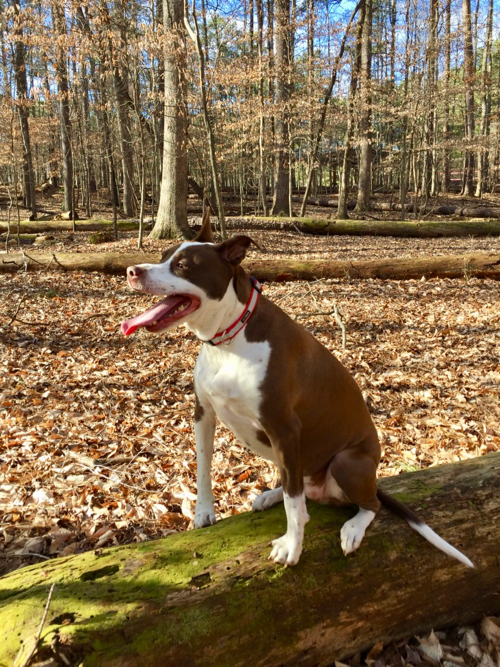brown and white Pitt Bull mix in woods